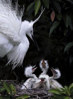 小白鷺.攝於台灣 新北市 坪林   Little Egret, taken at Pinglin, New Taipei City, TAIWAN