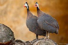 Des oiseaux cohabitent aussi avec les rhinocéros et les gazelles, ici la pintade de Numidie.