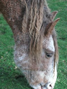 """My Hubby's CURLY HORSE """"BRAVE"""""""