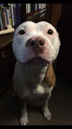 Blue Pits Happy Wednesday from Sir! Animals And Pets, Baby Animals, Funny Animals, Cute Animals, Love My Dog, Beautiful Dogs, Animals Beautiful, Perros Pit Bull, Cute Puppies