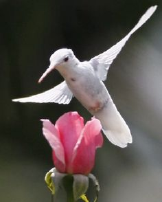 Albino Ruby-Throated Hummingbird pink rose by jodi All Birds, Little Birds, Love Birds, Pretty Birds, Beautiful Birds, Animals Beautiful, Exotic Birds, Colorful Birds, Ruby Throated Hummingbird