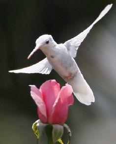 RARE ALBINO HUMMINGBIRD .