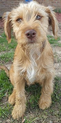 George A Labradoodle For Adoption