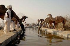 Camel Milk: Superfood or Superhype?