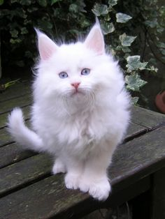 What a pretty pure white Maine Coon youngster! 25MCLastFifePolyseng