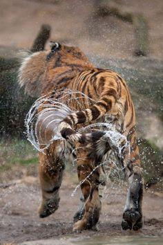 #playful #tiger