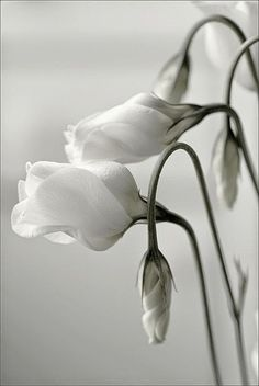 Elegant White Lisianthus The Nature Beauty Black And White Flowers, Shades Of White, Image Deco, Different Types Of Flowers, White Gardens, Belle Photo, Planting Flowers, Beautiful Flowers, Simply Beautiful