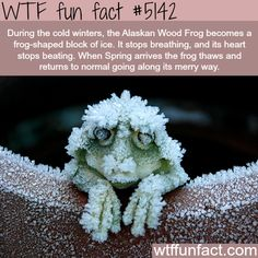 WTF fun facts, scientific name Rana sylvatica. http://voices.nationalgeographic.com/2013/08/21/how-the-alaska-wood-frog-survives-being-frozen/  https://www.pinterest.com/pin/324118504408801332/