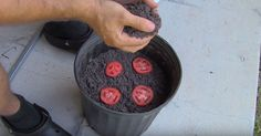 He Put 4 Tomato Slices In A Bucket Of Dirt. 12 Days Later? Unbelievable! - Site de tricksathome !