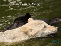 Ying and Yang--Wolf Conservation Center Photo
