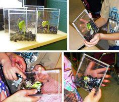 CD bean plant