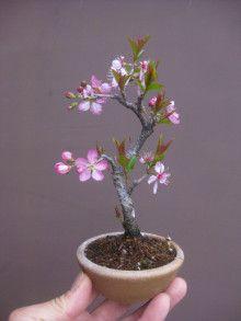 盆栽:庭梅という名の・・・・ |春嘉の盆栽工房