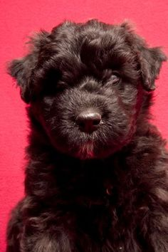 Bouvier des Flandres Puppy by ~tribandejoyce on deviantART