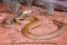 Taipan Snake (Oxyuranus scutellatus) .. Deadliest land snake!