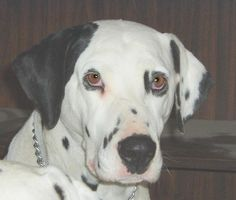 My Dalmatian Lily.  I miss her so much, she was a great pet.