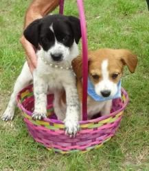 6-8-12 #4 and 5 is an adoptable Border Collie Dog in Kenansville, NC. 2 months old male on the right female on the left...