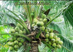 FARM LIFE!!! #iGanic water ... Nutrients and Minerals from #MamaEarth #Jamaica .. #JahMason #JahMasonMusic #NewCreationRecords #FyahMason #FyahMusic #RiverNile