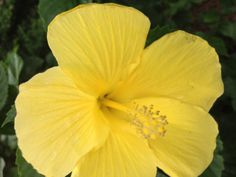 My Yellow Hibiscus Flower