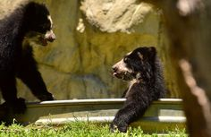 Two Baby Spectacled Bears