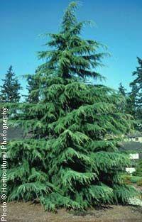someday I'll find a spot for this graceful, bluish-green, fine-textured Deodar Cedar. Evergreen Landscape, Front Garden Landscape, Garden Shrubs, Evergreen Trees, Garden Trees, Trees And Shrubs, Lawn And Garden, Landscape Design, Privacy Landscaping