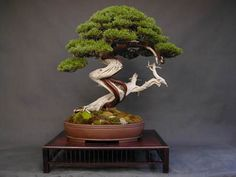 Juniper Bonsai Gallery