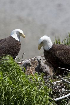 our-amazing-world:  American Bald Eagles Amazing World, follow me on tumblr