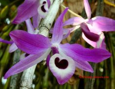Dendrobium nobile Lindl. 1830