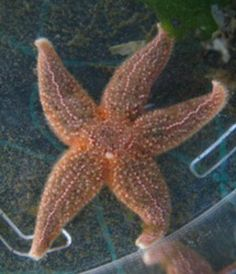 10 Surprising Facts About Starfish: Sea stars are protected by armor.