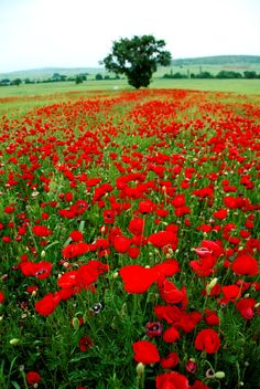Spring landscape - Kilkis Regional Unit - Greece Greece Honeymoon, Greece Vacation, Vacation Travel, Greece Travel, Poppy Fields, Flanders Field, Spring Landscape, Like A Local, Where To Go