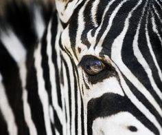 Structuur: vacht van een zebra