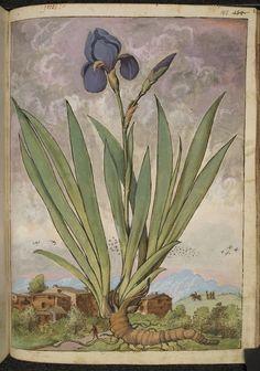 Watercolours from a 16th-Century De Materia Medica | The Public Domain Review