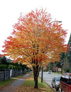 Tree Identification: Cercidiphyllum japonicum - Katsura Tree smells like brow sugar or candy Deciduous Trees, Trees And Shrubs, Flowering Trees, Trees To Plant, Colorful Trees, Small Trees, Katsura Tree, Australian Native Garden, Baumgarten