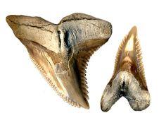 shark indenifaion | Shark Information - Hemipristis fossil shark tooth identification ...