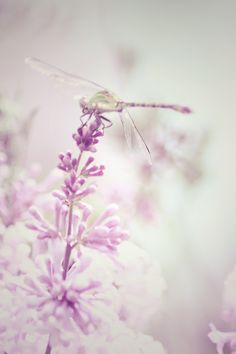Lilac 2 by Elchanan*