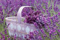 18 things you didn't know about lavender  - housebeautiful.co.uk