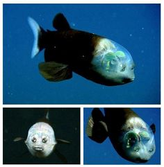 The fish with a transparent head!  Very little light reaches the dark depths of the ocean. Consequently we see many adaptions regarding light among deep-sea organisms, from extreme sensitivity to bio-luminescence. But as strange as they can seem, the barreleye fish blows them all away - it has evolved to see through its own head.