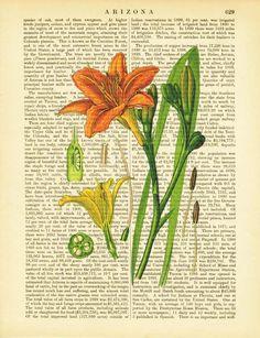 Orange Lily Botanical Print on Antique 1902 Encyclopedia Page