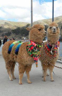LLAMAS ADORNADAS - llamas all dolled up