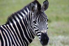 Αποτέλεσμα εικόνας για zebra