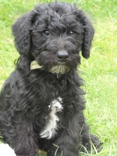 schnoodle images - Google Search