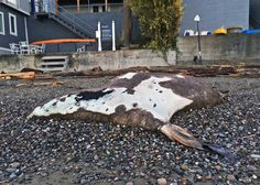 PHOTOS: Dead Sea Lion washes up on north side of Three Tree Point - It's unknown when this marine mammal died, or what the cause was. However, Jamie at the Marine and Science Technology (MaST) Center in Des Moines told us that Orcas have been swimming around the area, and they are known to be predators to Sea Lions.