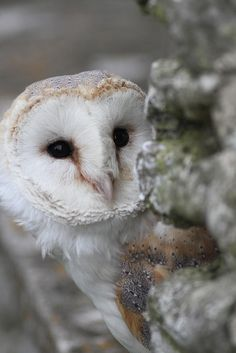 "The previous pinner said ""snowy owl"" clearly a barn owl. Jeeze."