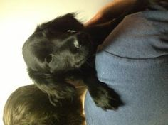 Pokey is an adoptable Cocker Spaniel Dog in New York, NY.  ...