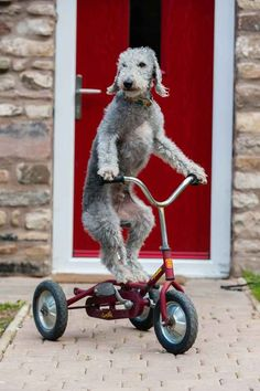 Meet Barry the Bedlington terrier. Barry loves to ride his bike.