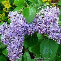 Lilac - Hometalk
