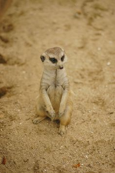 Photograph Meerkat by Hyunsoo Song on 500px