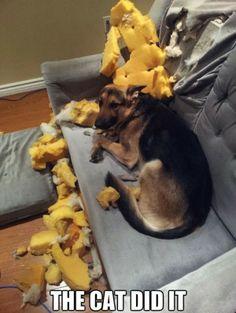 """The cat did it.""  ~ Dog Shaming shame - German Shepherd"