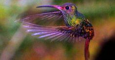 Bilderesultat for kolibri Ecuador, Owl Bird, Beautiful Birds, Cute Animals, Wildlife, Creatures, Pets, Hummingbirds, Image
