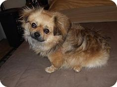 Pittsburgh, PA - Pekingese/Pomeranian Mix. Meet Buddy, a dog for adoption. http://www.adoptapet.com/pet/12724521-pittsburgh-pennsylvania-pekingese-mix