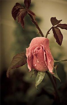 <3 Rose